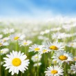 Field of daisy flowers — Stockfoto #4621811