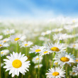Field of daisy flowers — Stock Photo #4621811