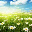 Field of daisy flowers — Foto de Stock