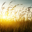 Stock Photo: Grass and sunset