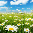 Field of daisy flowers — ストック写真