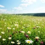 Field of wild flowers — Stock Photo