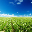 Stock Photo: Potatos field
