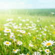 Field of daisy flowers — Stock Photo #4622083
