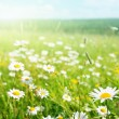 Field of daisy flowers — Foto de Stock   #4622083