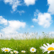 Field of daisy flowers — Stock Photo #4622085