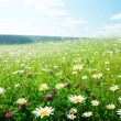 Field of wild flowers - Stok fotoğraf