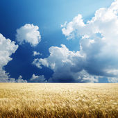 Field of barley and sunny day — Stock Photo