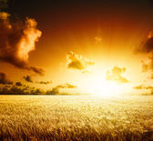 Field of barley and sunset — Stock Photo