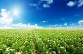 Campo de patatas — Foto de Stock