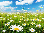 Field of daisy flowers — Photo
