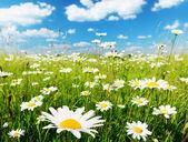 Fält av daisy blommor — Stockfoto