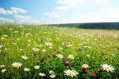Field of wild flowers — Photo