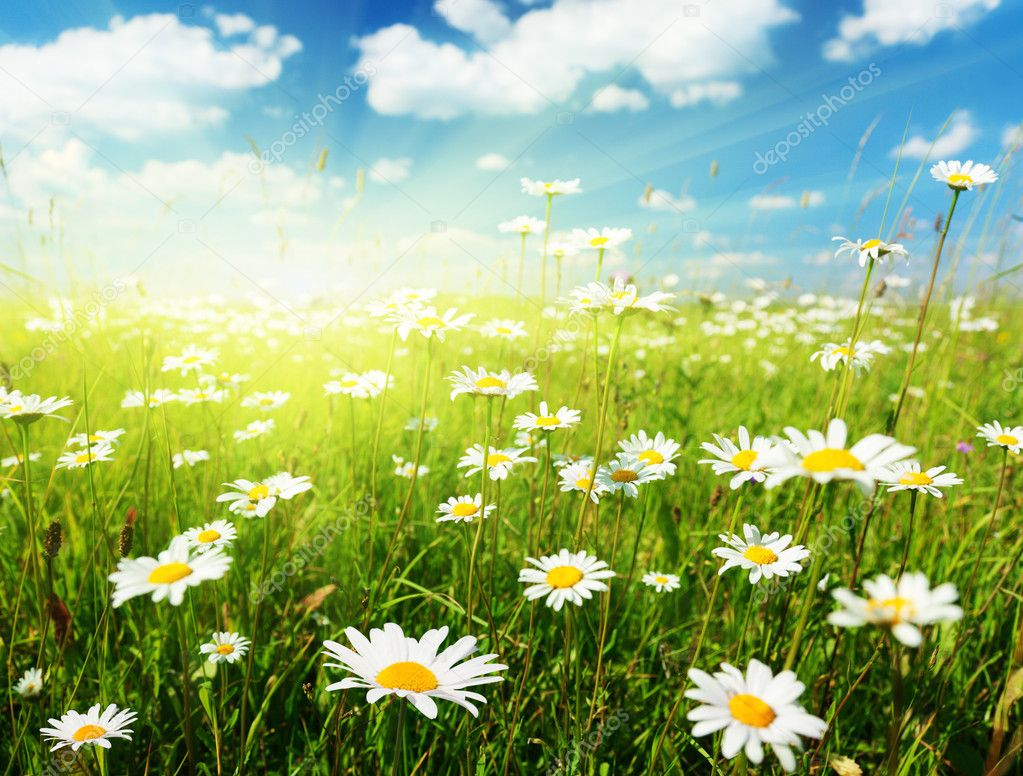 Field of daisy flowers — Foto de Stock   #4621883