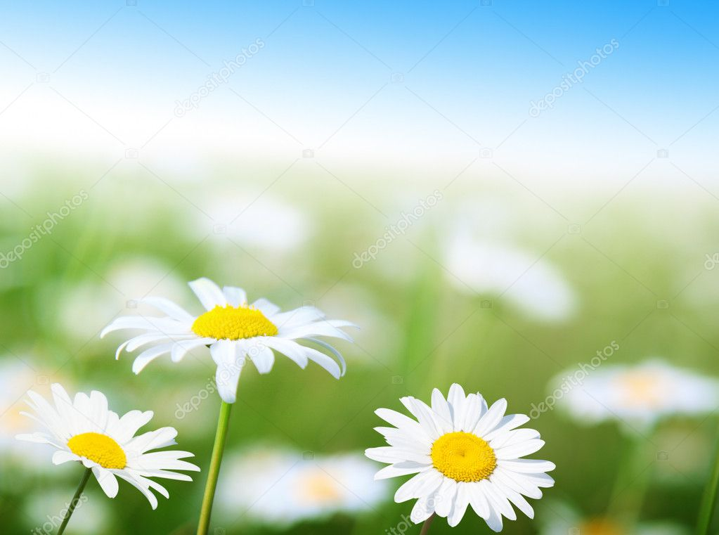 Field of daisy flowers — Stock Photo #4622169