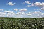 Field of corn on sunny day — Stock Photo