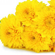 Stock Photo: Yellow chrysanthemum flowers .