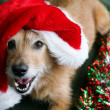 Dog in a Santa hat with a happy grin — Stock Photo