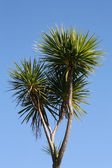 New Zealand cabbage tree — Stock Photo