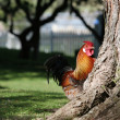 Rooster peeping out from behind a tree — Stock Photo