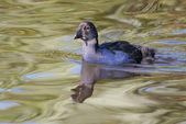 Pukeko chick swimming — Stock Photo