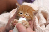Bottle feeding kitten — Stock Photo