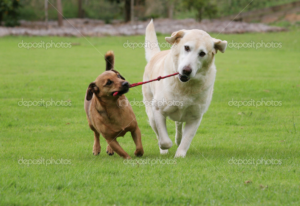 Labrador and a terrier dog playing tug with a rope toy — Stock Photo #4577084