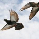 Pigeon in flight — Stock Photo