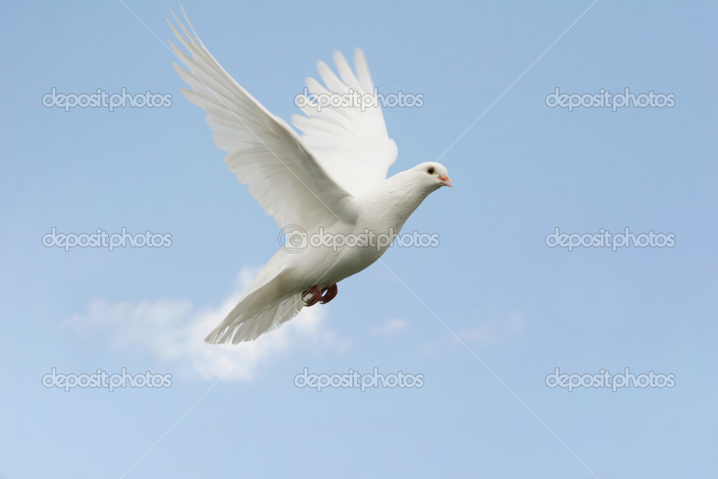 Beautiful white dove flying, blue sky background  Stock Photo #4582866