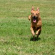 Happy senior dog running — Stock Photo
