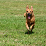 Постер, плакат: Happy senior dog running