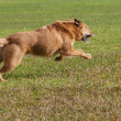 Old dog running fast - Stock Photo