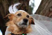 Dog in a bridal veil — ストック写真