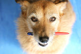 Dog with a pen in her mouth — Stock Photo