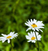 Daisies in nature. — Stock Photo