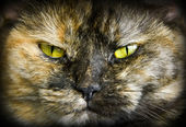 Tortoiseshell cats — Stock Photo
