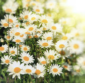 Background with daisies — Stock Photo