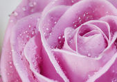 Pink rose closeup — Stock Photo
