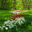 Stock Photo: Spring garden with white and red tulips