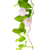 Pink convolvulus flowers on a white background — Stock Photo