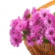 Pink chrysanthemum in a basket — Stock Photo