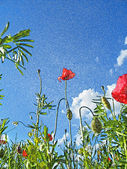 Picture of poppies — Stock Photo