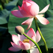 Stock Photo: Lotus flower.