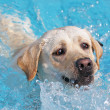 Stock Photo: Labrador