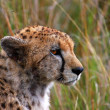 Cheetah — Stock Photo #4588925