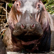 Hippopotamus — Stock Photo #4588955