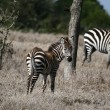Zebra — Stock Photo #4594657