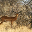 Long-horned impala male — Stock Photo