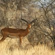 Long-horned impala male — Stock Photo #4594665