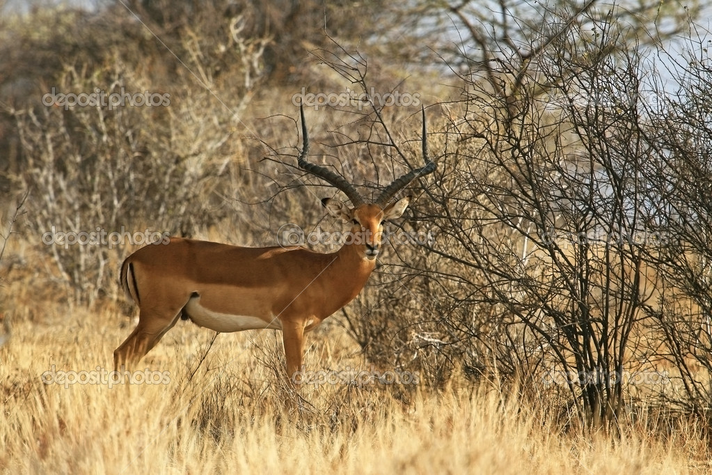 Long-horned impala male  Stock Photo #4594665